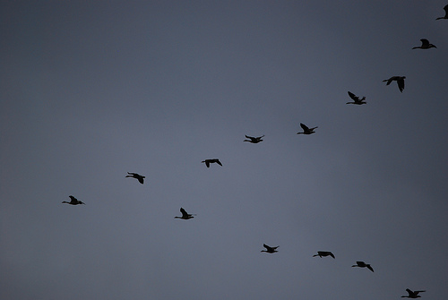 flock of geese Are The British Media Going On A Wild Goose Chase With David Moyes As Next United Manager?